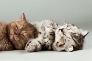 two fluffy gray beautiful kitten, breed scottish-fold, lie portrait on grey background